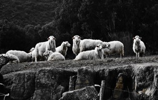 Sheep on a ledge